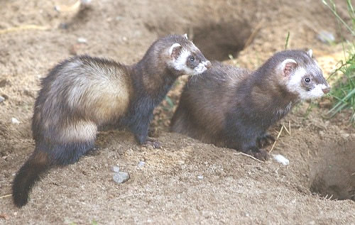Putois-mustelide-carnivore-France-Europe